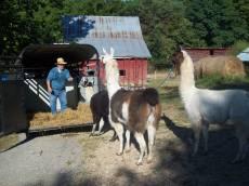 Brian Coaxing Llamas 8-28-11